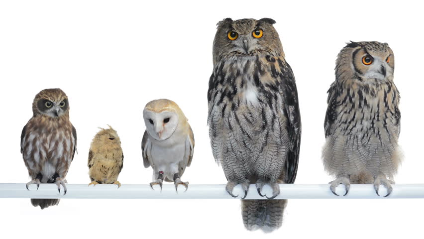 Group of Owls perched and looking around