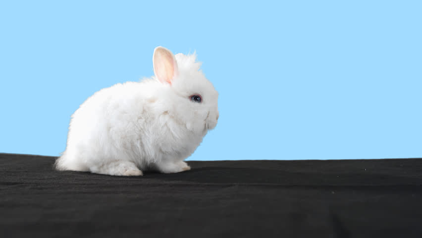 Cute bunny stands alone in front of a blue background. Medium shot with green screen alpha channel and mask