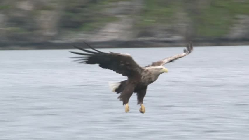 White-tailed eagle catching a fish out of the water #4555682