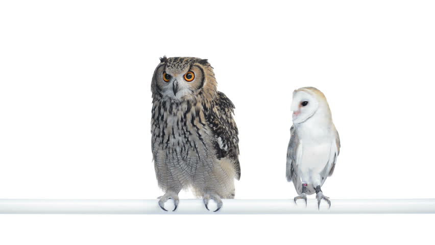 Indian Eagle Owl and Barn owl perched and looking around