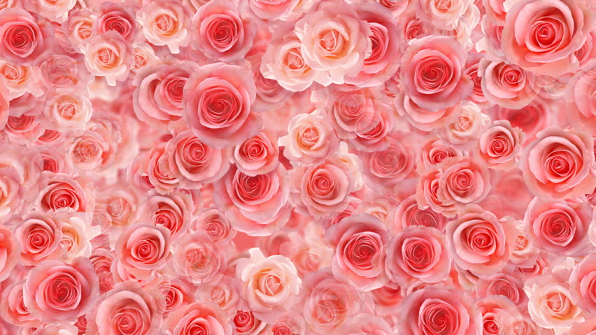 Rose Flower Holiday Cg Background Stock Footage Video (100% Royalty,free)  459682