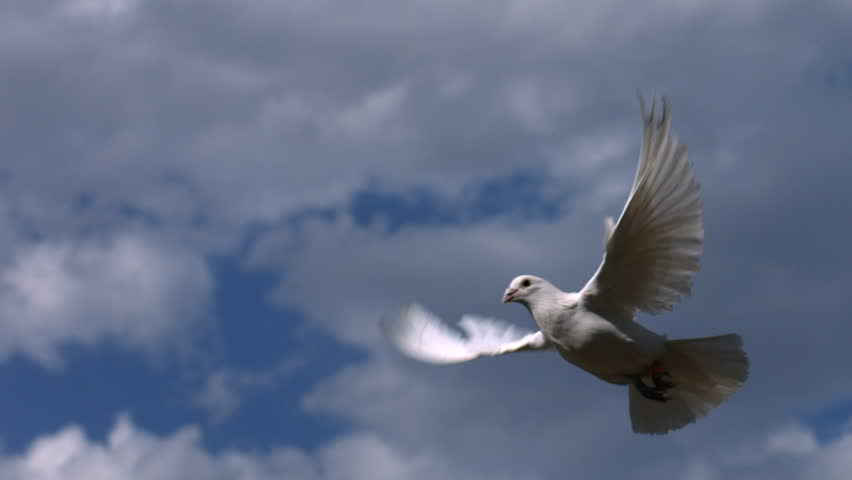 Dove flies across sky, slow motion