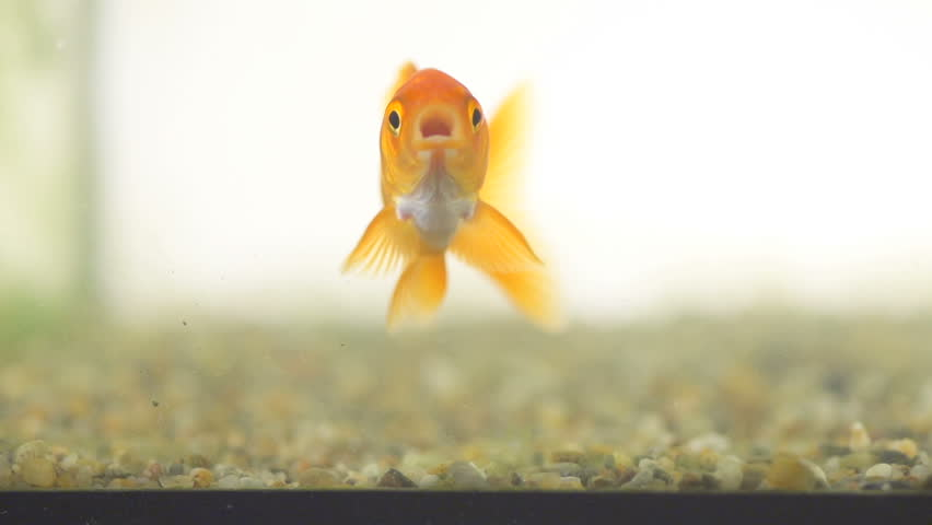 Interesting Slow Motion Shot Of A Curious Goldfish Exploring Fish Tank's Glass Surface.