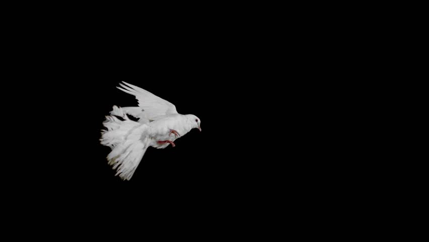 White bird flapping on black background shooting with high speed camera, phantom flex.