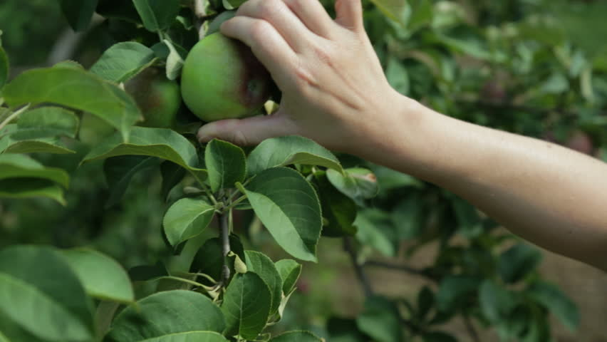 Woman hand picking an apple in a tree.