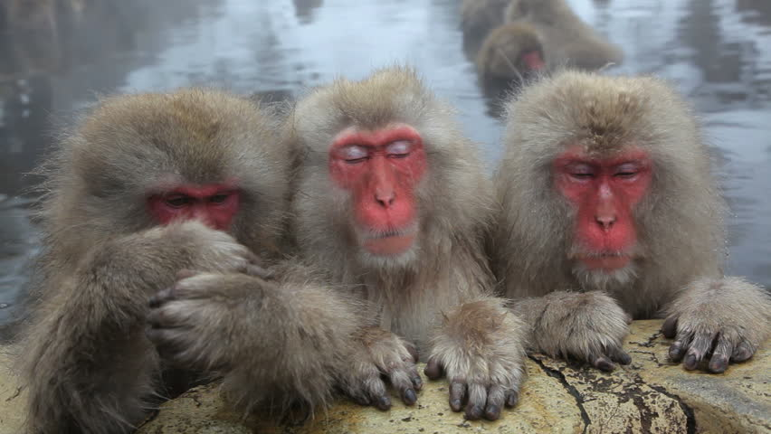 Three Japanese Macaques sleeping and resting against the wall of a hot spring at the Jigokudani nature reserve in Chubu, Japan
