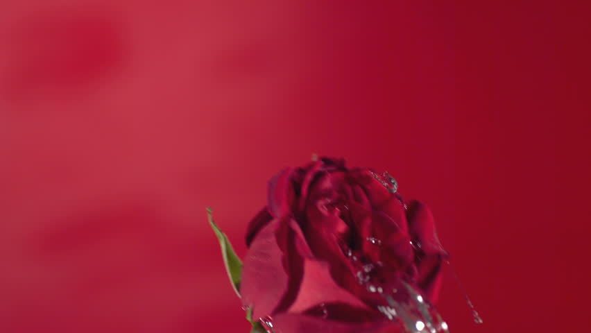 Valentine's Day rose water splash, slow motion