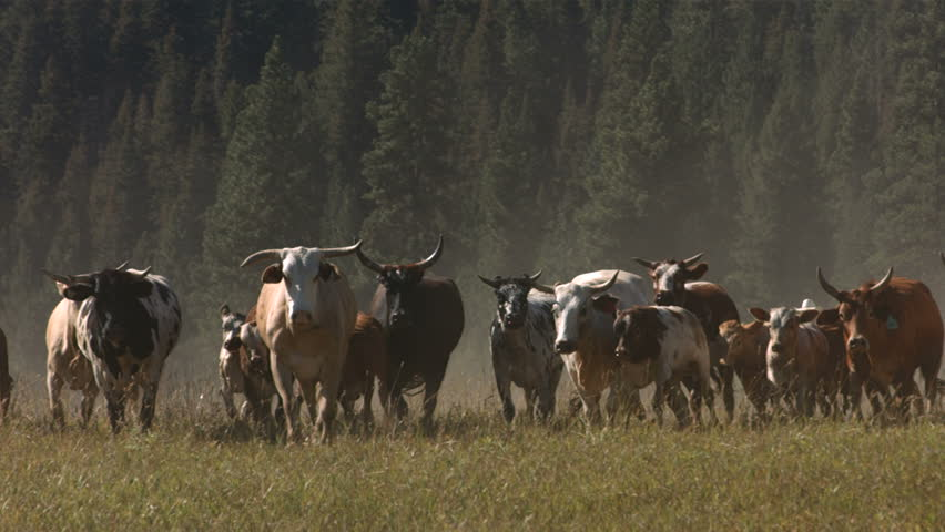 Cattle stampede, slow motion