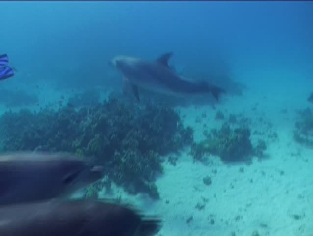 A female Bottlenose dolphin with her calf getting playful around divers