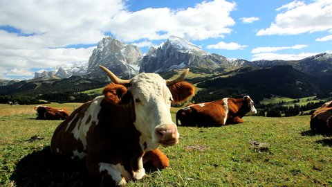 Close view of cattle leisurely chewing cud in an alpine meadow in Seiser Aim near in the Italian Dolomites