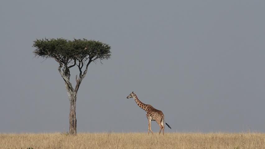 Masai giraffe (Giraffa camelopardalis tippelskirchi), Masai Mara National Reserve, Kenya