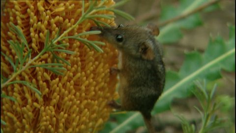 Tiny honey possum feeding off yellow Banksia plant