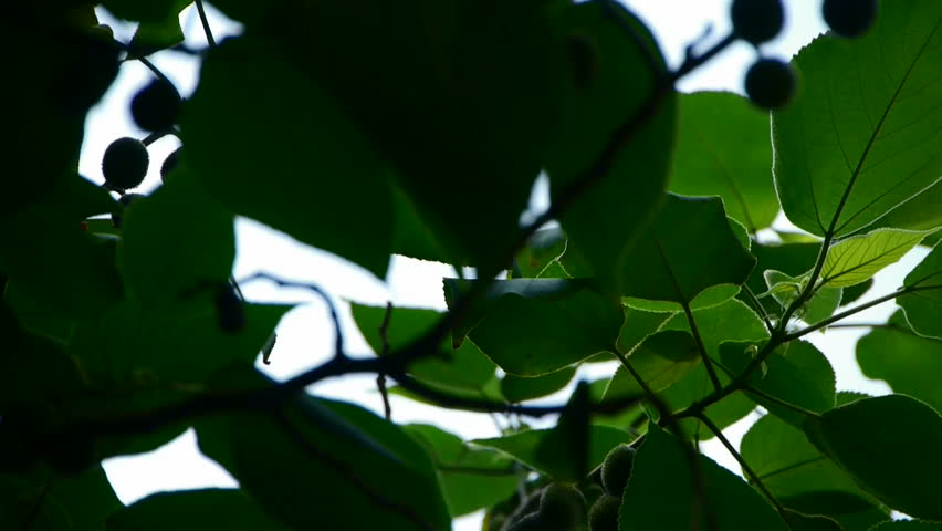 The dense branches foliage & fruit covered sky,sunlight through leaves. gh2_02393 | Shutterstock HD Video #4825382