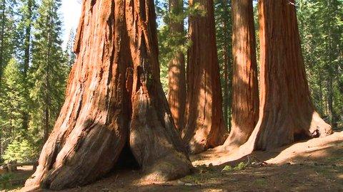 Tilt up giant Sequoia trees in Yosemite National Park.