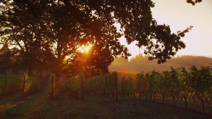 Early morning sun shines through oak tree at vineyard