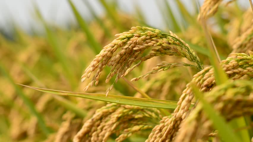 Header of Rice