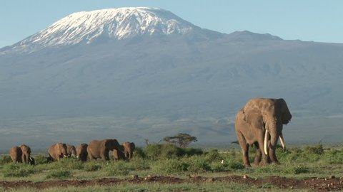 a bull elephant leads a group of elephants from kilimanjaro