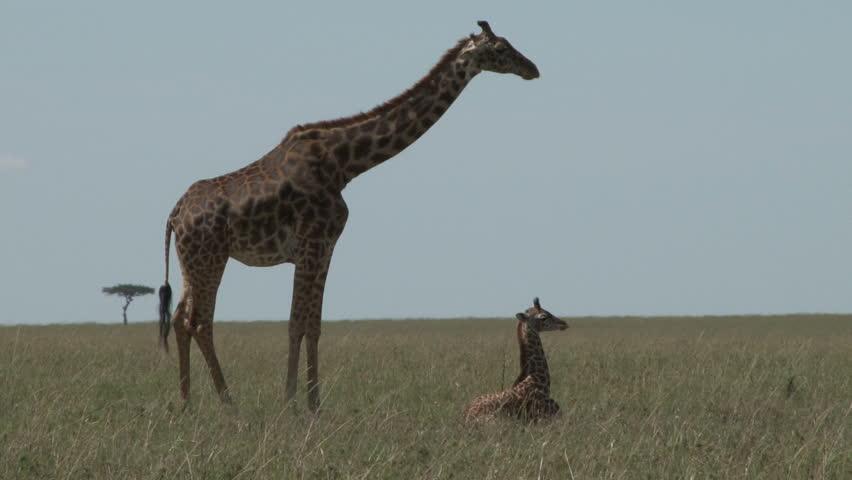 giraffe and a baby.