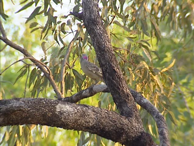 Great Bowerbird (chlamydera nuchalis) on branch, preening.