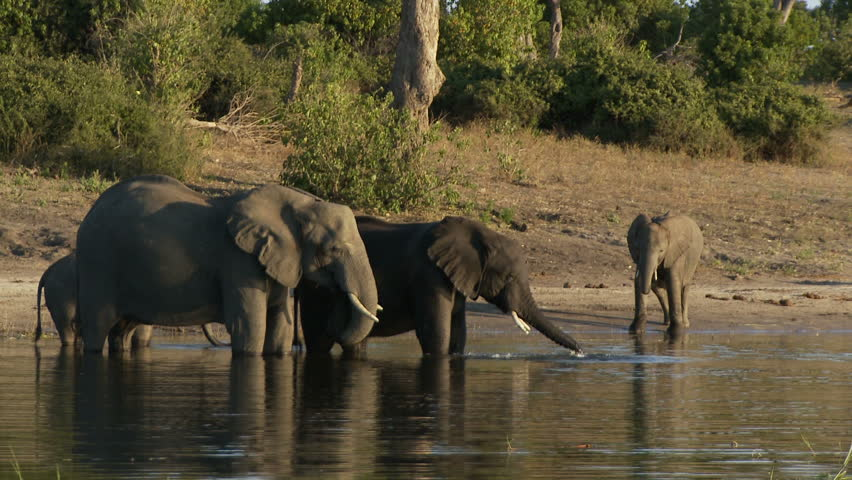 Elephants drinking from the Chobe River