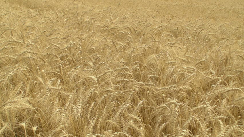 HD 720p: Autumn wheat field close up