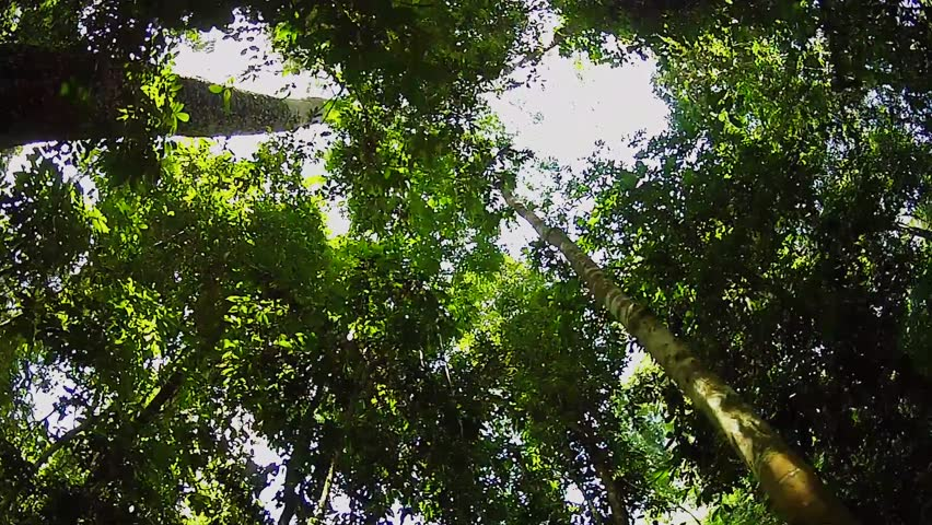 An overhead canopy perspective walkthrough of a jungle in Borneo.  This is the Danum Valley rainforest--the oldest primary forest in the world!
