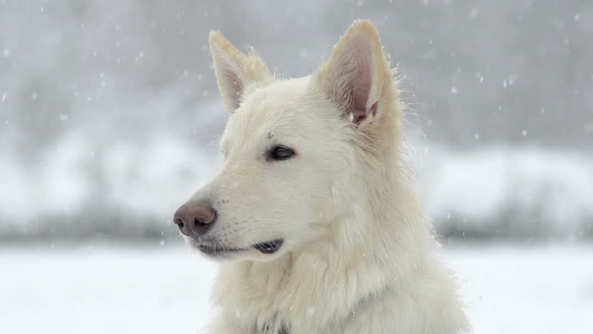 Spectacular Slow Motion Close-Up Of White Swiss Shepherd Dog And The Falling Snow | Shutterstock Video #5044328