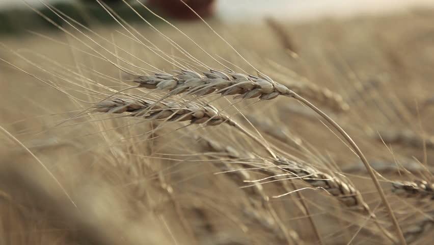 Ear of wheat In the men hands farmer | Shutterstock HD Video #5102162