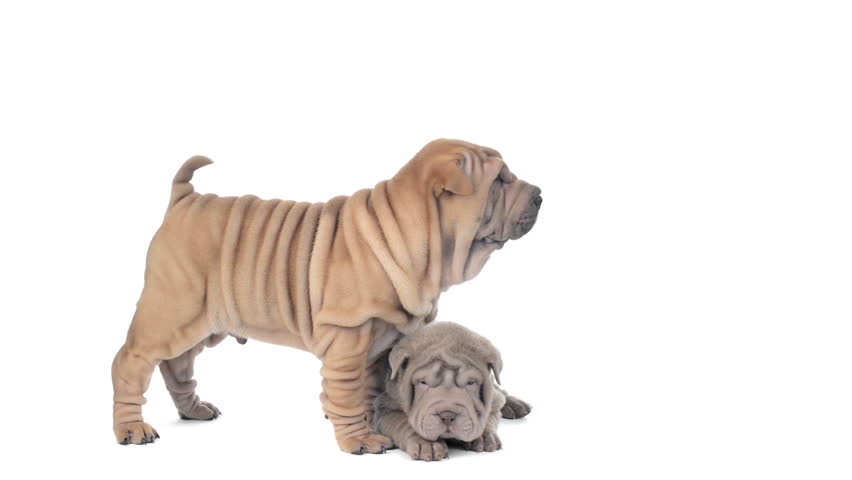 Two Shar pei puppies on a white background