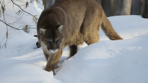 muskoka cougar
