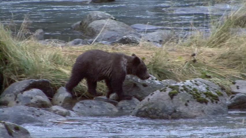 Brown bear cubs move among the rocks in the Chilkoot River