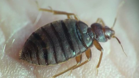Bedbug sitting on human skin