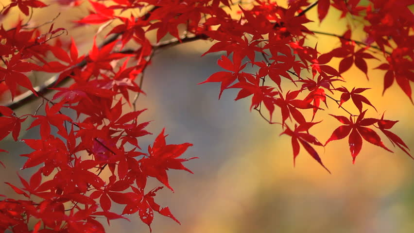 Autumn red maple leaves with foliage in the background. (place for text, shallow DOF)