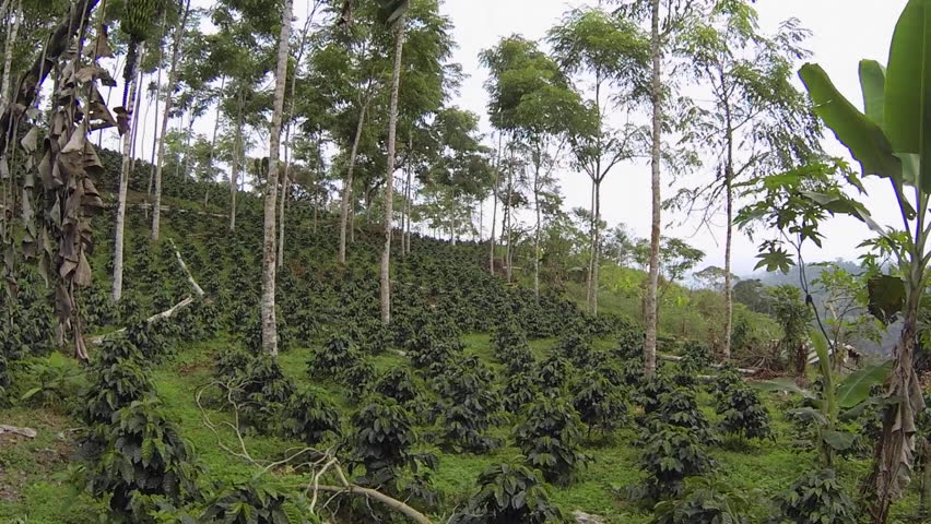 Flying rapidly through a shade-grown organic coffee plantation on the Pacific slopes of the Andes in Ecuador