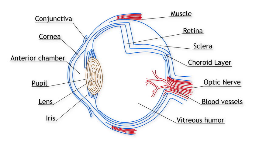 structure of human eye