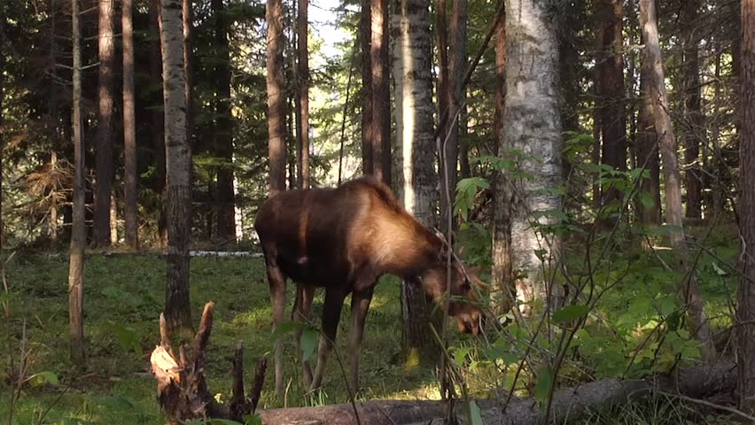 A moose grazes on a sapling beneath the shade of the forest.