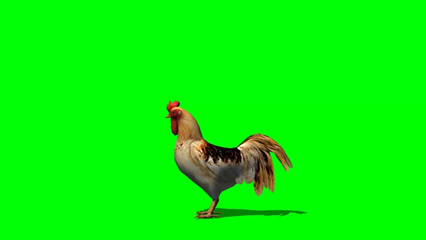 Rooster Walk Animal Green Screen Video Footage