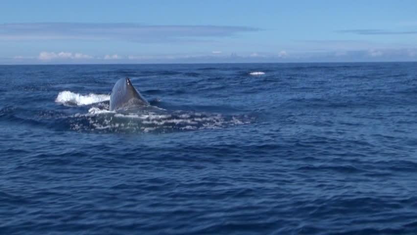 Sperm whale go down Physeter macrocephalus Azores Island, Pico, Atlantic ocean