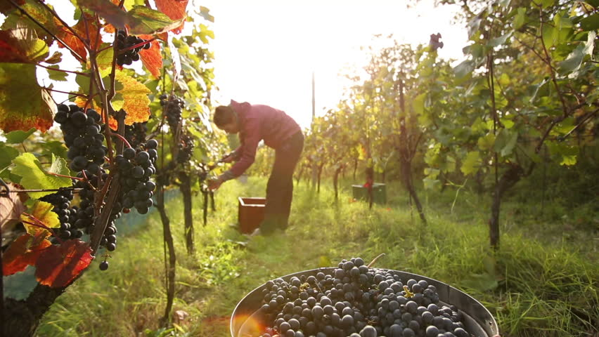 Female vintner throwing vine grapes to the container during wine harvest on a lovely autumn day