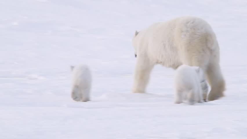 Pair of polar bear cubs walking in the arctic with their mother. | Shutterstock HD Video #5365322