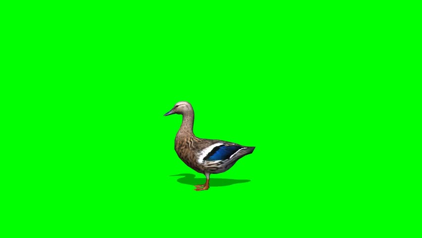 Duck Female eat - seperated on green screen #5427902