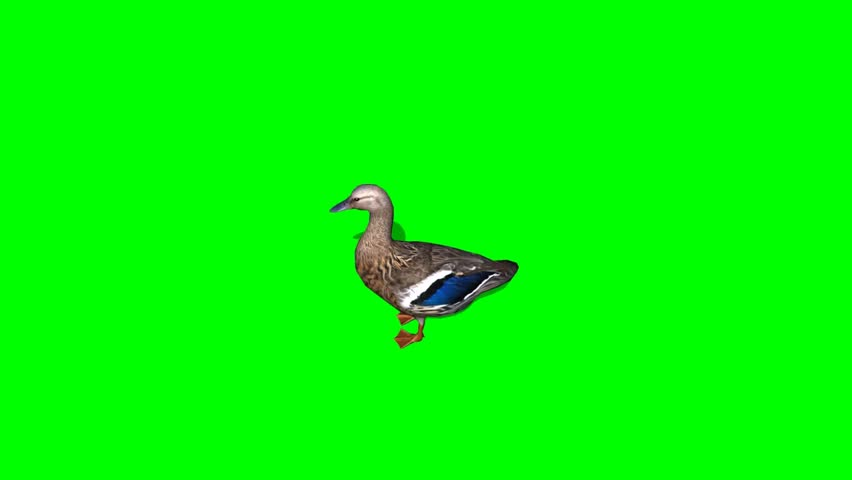 Duck Female eat - seperated on green screen | Shutterstock HD Video #5427920