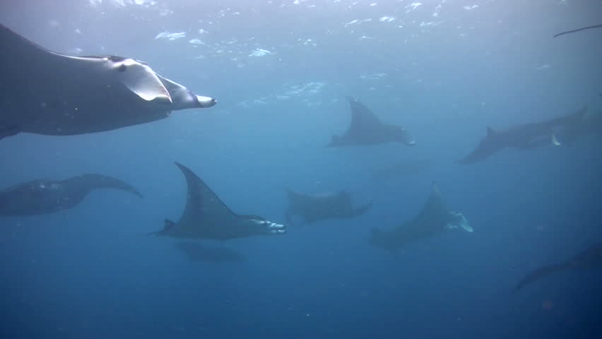 Bunch of giant manta ray (Manta birostris) swimming shallow