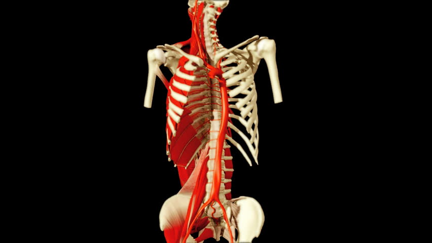3d Animation Illustrating The Human Anatomyskeleton Muscles Stock