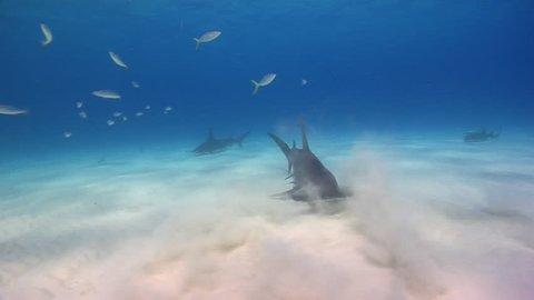 Great Hammerhead Sharks Swimming across the sandy bottom, in shallow waters of Bimini, The Bahamas.