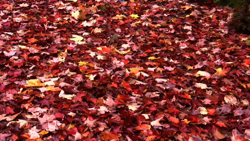 Autumn leaves fall and blanket ground | Shutterstock HD Video #560842