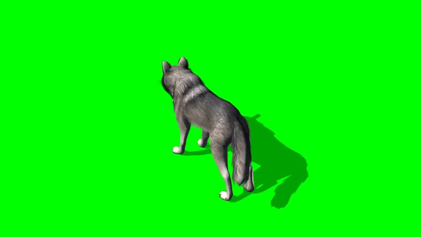 Wolf walks - seperated on green screen  | Shutterstock HD Video #5644982