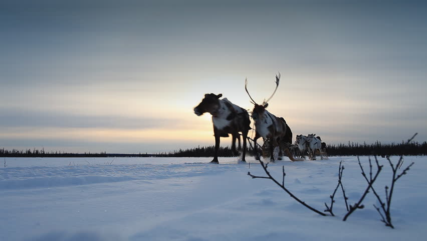 A reindeers in a winter scenery. Reindeer race.