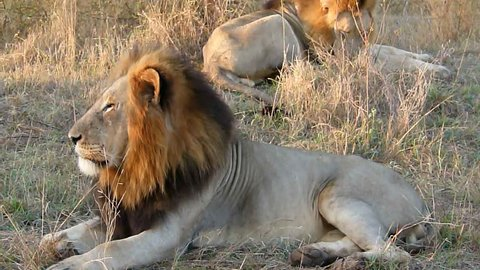 Awesome male Lions morning call! Extremely close encounter to a spine tingling show from these big cats
