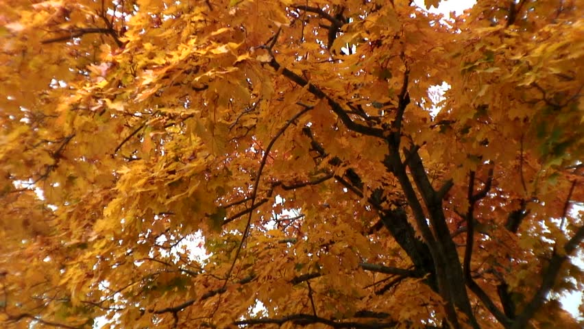 tree with vibrant yellow leaves in fall blows in the wind